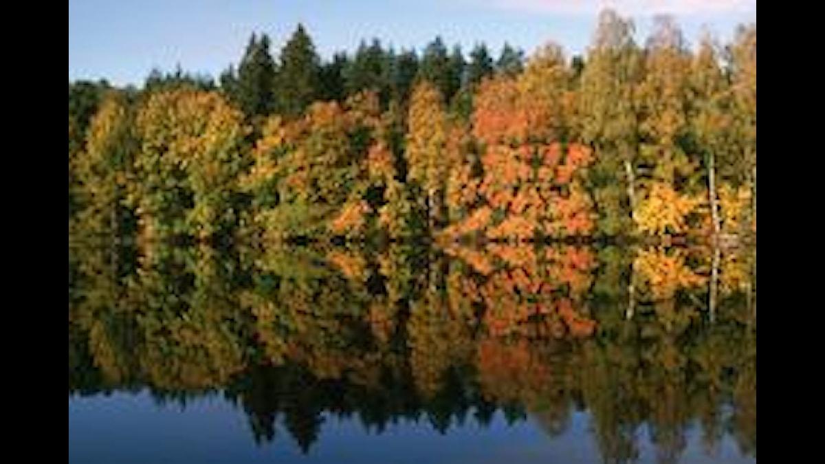 Skog i vattenspegel