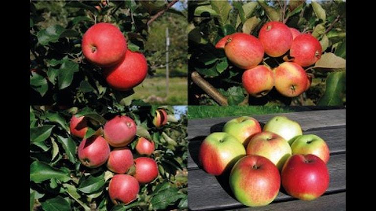 Шведы вывели новые сорта яблок
