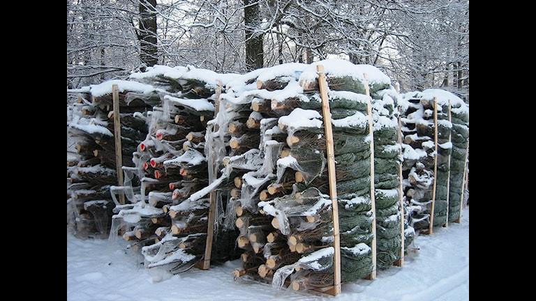 Рождественских ёлок хватит всем шведам