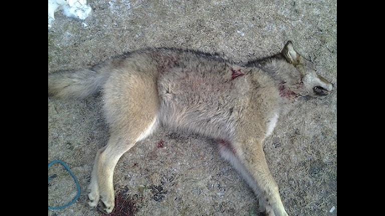 В Швеции отстреляли 44 волка за сезон охоты