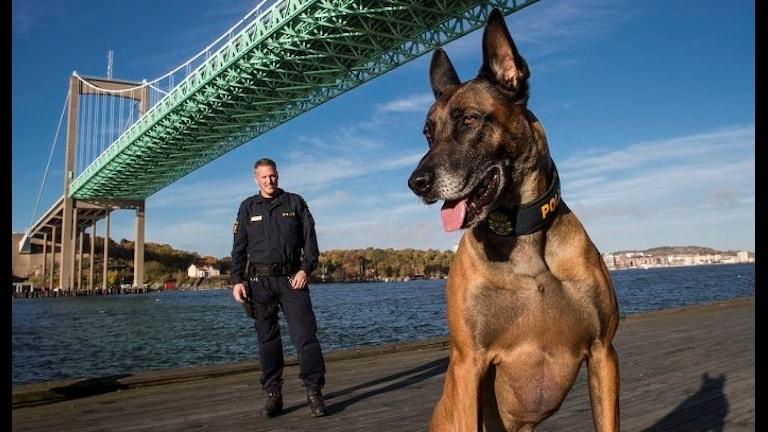 Полицейская собака 2015 года Herman von den Sennequellen и её инструктор Петтер Франссон. Фото: Sören Håkanlind/SKK