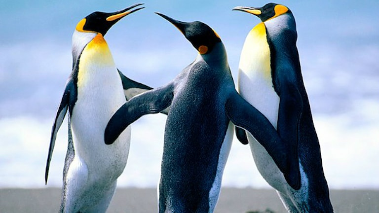 Pinguine tanzen (Foto: Jozo Glavas/Sveriges Radio)