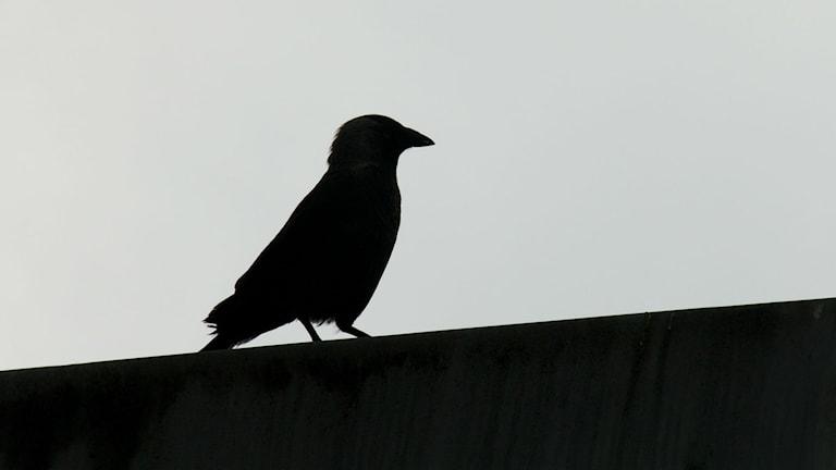 Schwarzer Vogel (Foto: Flickr)