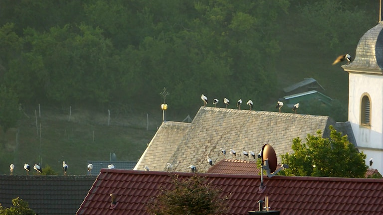 75 Jungstörche aus dem südlichen Schweden wurden am 25. Juli 2015 ausgewildert. Wie von der Vogelschutz-Organisation erhofft, hat sich zumindest ein Teil von ihnen offenbar mit Erfolg auf die gefahrvolle und mühsame Reise nach Süden, über die Alpen, begeben. Sie scheinen Anschluss an ältere und erfahrene Artgenossen gefunden zu haben, denen sie folgen können. 65 Störche haben im fränkischen Estenfeld auf dem Dach der Pfarrkirche St. Mauritius übernachtet. Dort sind sie von Marga und Hermann Heinickel gesehen und fotografiert worden. (Foto Copyright: Heinickel)