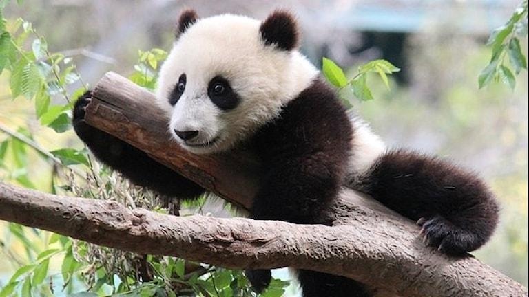 Jättepandan i Kina är på väg mot återhämtning. Foto: Johann Balleis/Wikimedia commons. Creative Commons