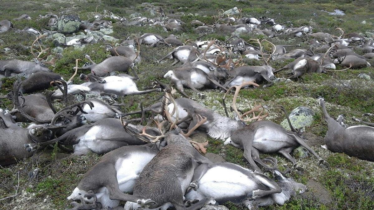 Döda renar