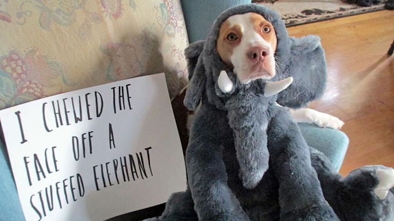 Hund iklädd elefantkostym. Foto: Jeremy Lakaszcyck/AP Photo/TT