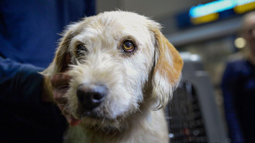 Hunden Arthur. Foto: Maja Suslin/TT