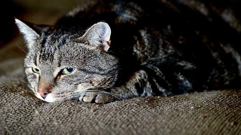 Katt. Foto: Anders Wiklund/TT