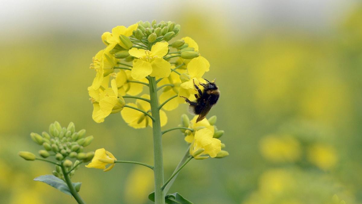 Livsviktig pollenering. Foto: Johan Nilsson/TT