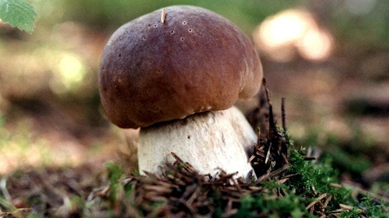 Karl Johan-svamp. Foto Lennart Nygren / TT