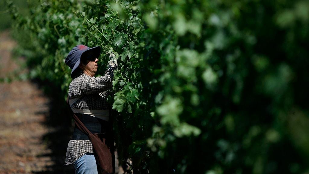 vinodling. Foto: Roberto Candia/AP Photo/TT