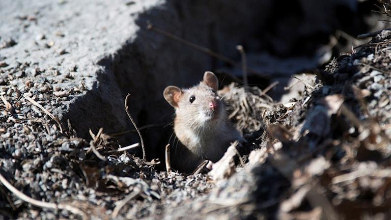 Råtta. Foto: Fredrik Sandberg/TT