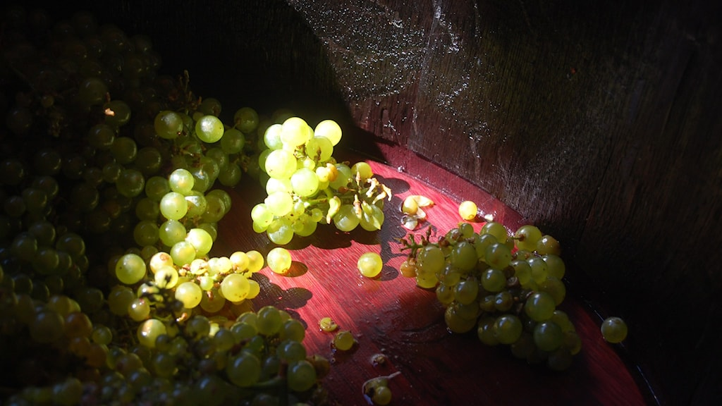 Chardonnay-druvor