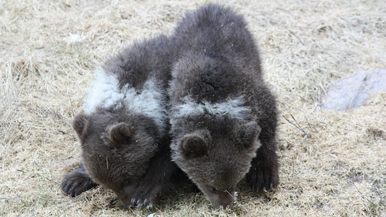 I dag var det björnsläpp i Orsa rovdjurspark.