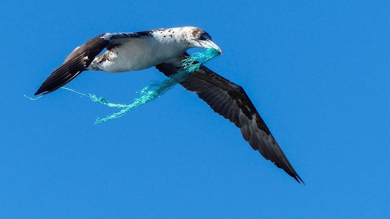 Havssula med plast
