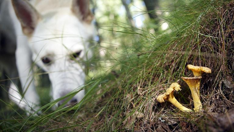 En hund nosar på marken i skogen. En bit framför hunden står tre kantareller i mossan.