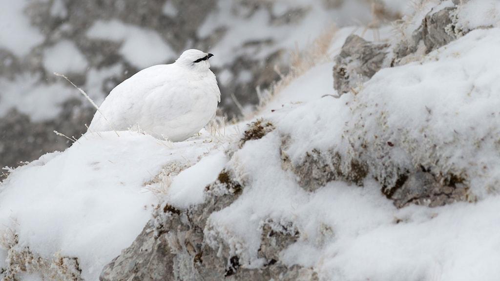 Snöripa i naturen