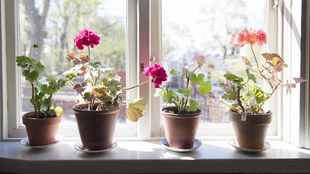 Pelargoner i ett fönster