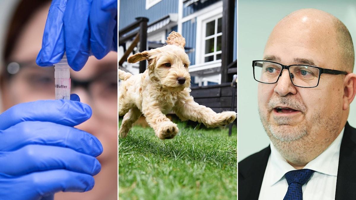 Coronatester, hundar och Karl-Petter Thorwaldsson.