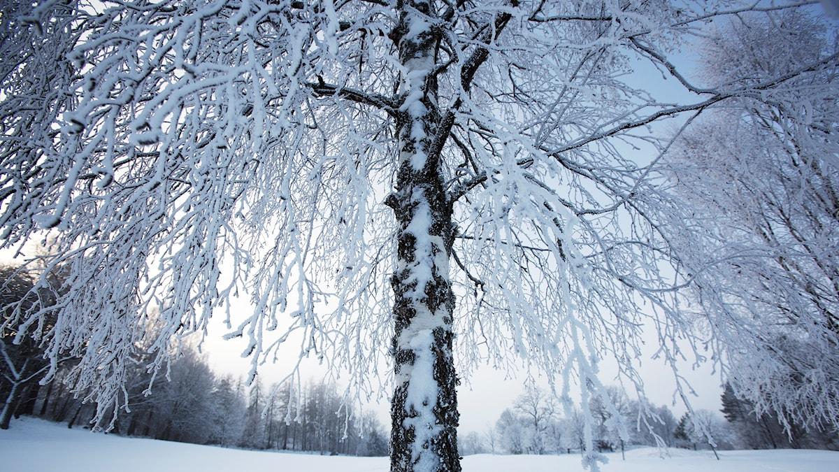 Ett frostigt träd