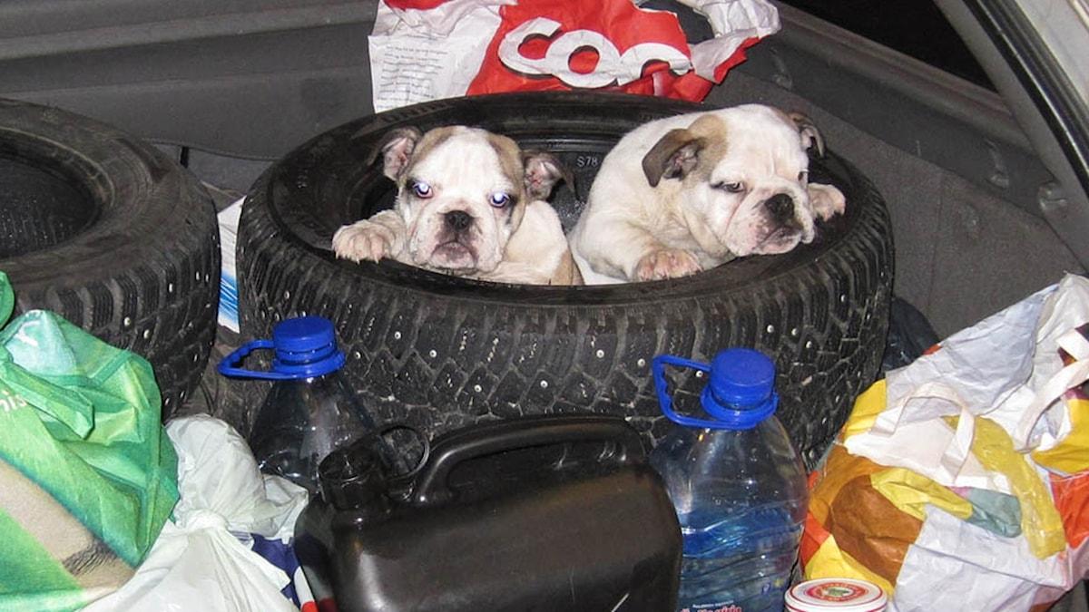 Hundvalpar fraktas osäkert inuti ett bildäck i bagageluckan utan bur. Foto: Tullverket