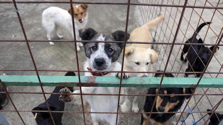 Hundar i bur.