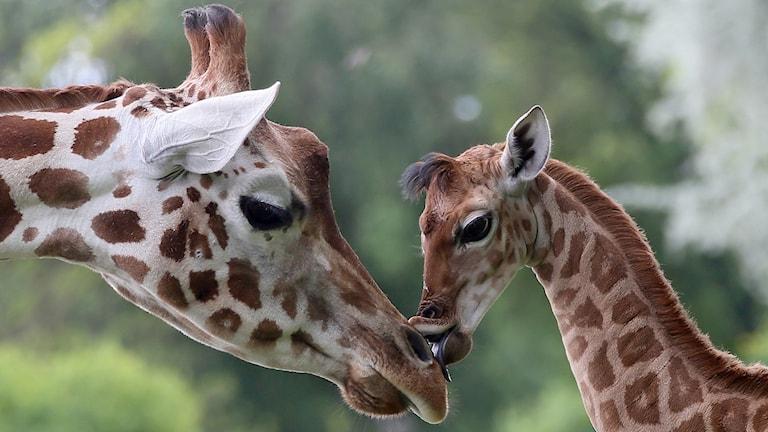 giraffer, giraffpuss