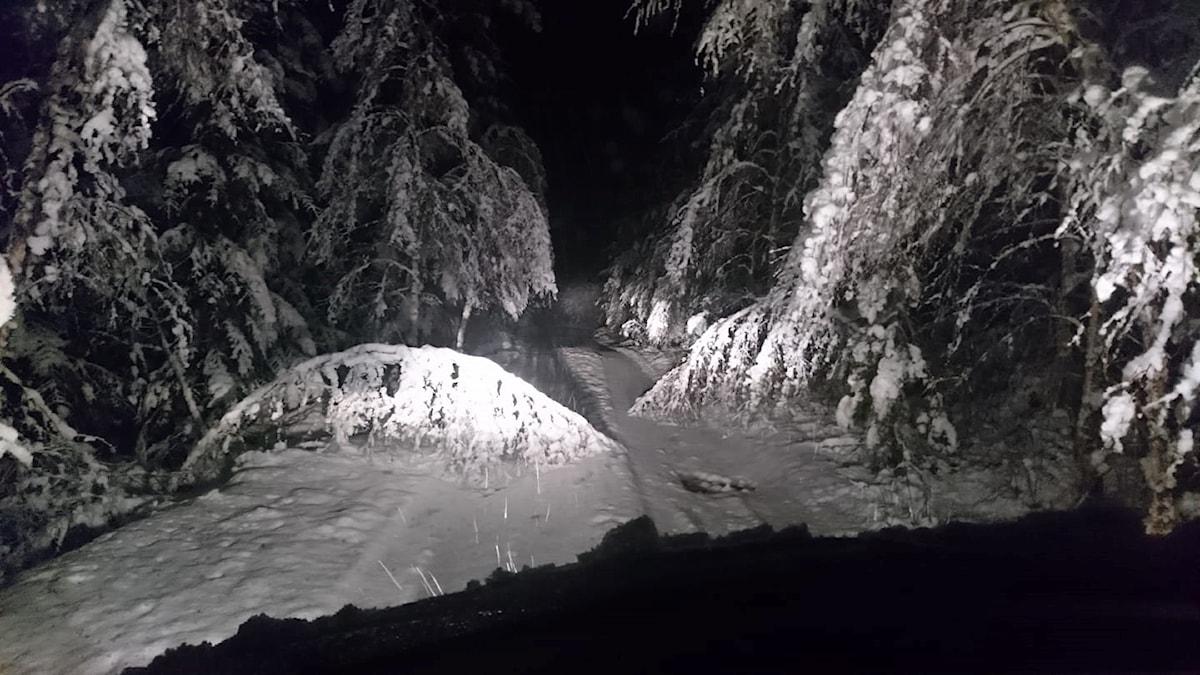 Snöig och mörk skogsväg där man ser ett träd som vikit ner sig över vägen.