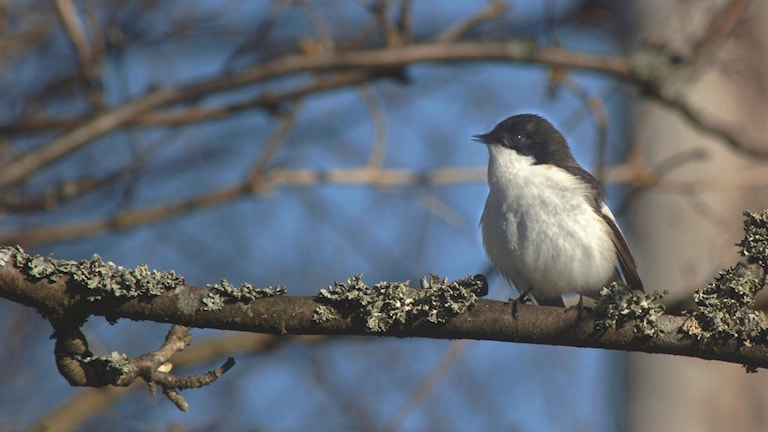 Svartvit Flugsnappare sitter på en gren och sjunger.