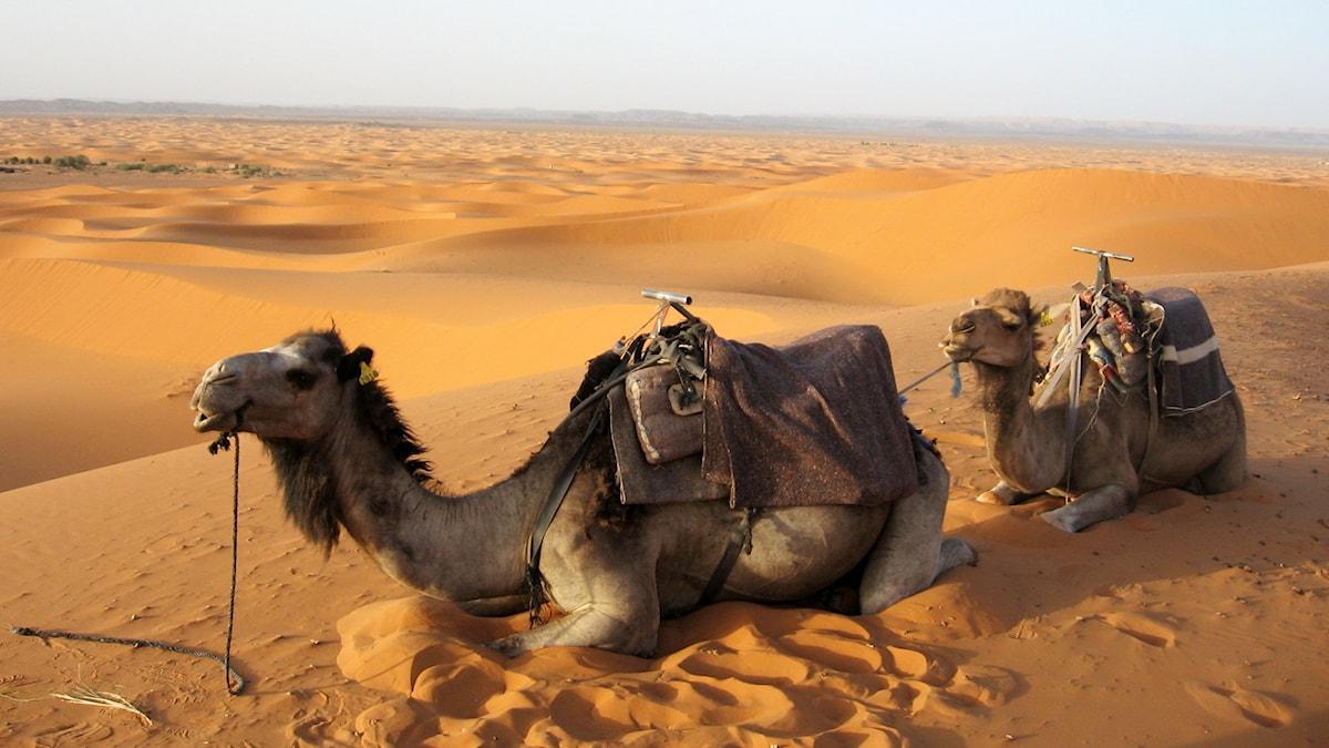 Kameler i Sahara  Foto: Giovanna dell Orto TT Bildbyrå