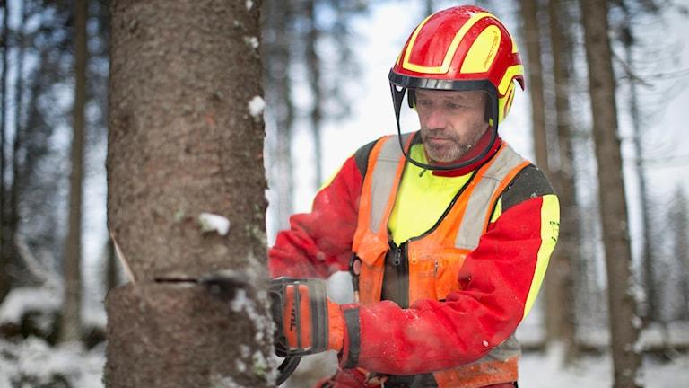 Skogsarbetare som sågar träd