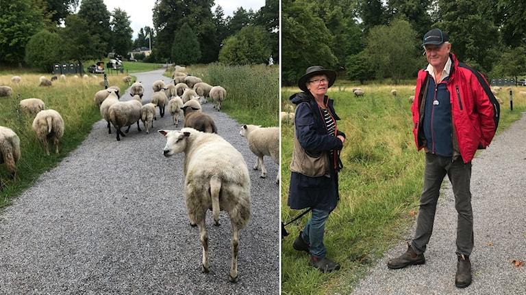 Får till vänster, fårbönder till höger.