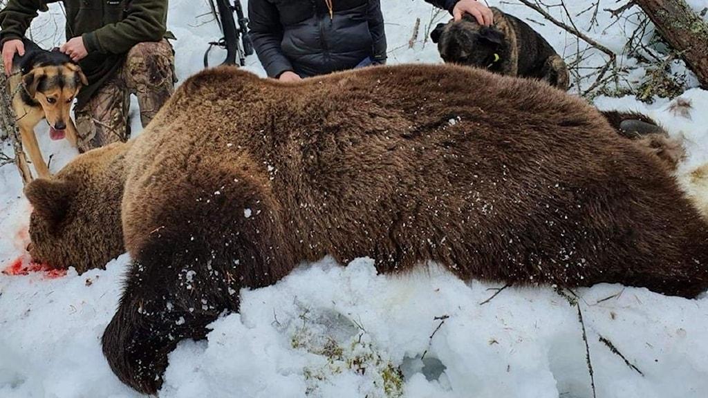 En brunbjörn som blivit skjuten och är död