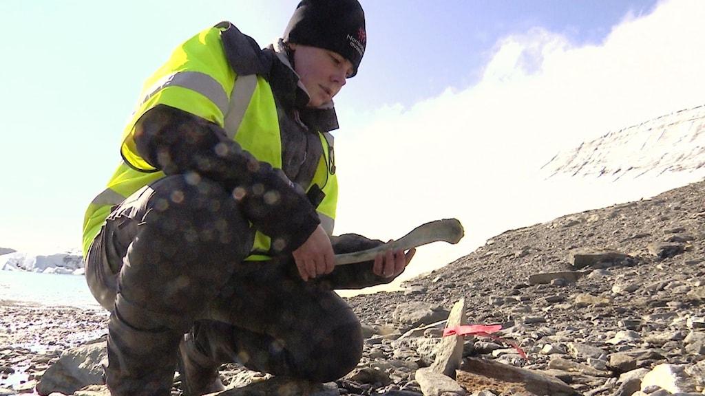 Emma Boman, osteolog vid Norrbottens museum, visar fynd av gamla renben som kommer fram när glaciärer smälter.