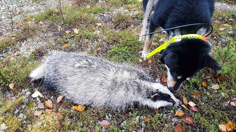 ägaren Tord Kostet sköt en grävling I Nausto mellan Kiruna och Svappavaara.