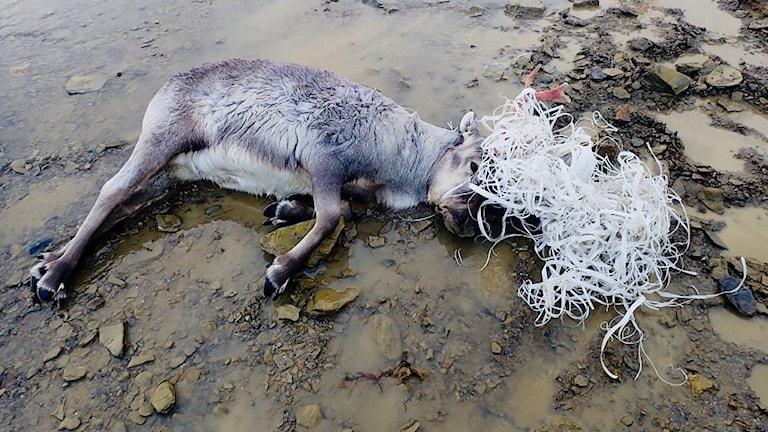 Svalbardren intrasslad i plastband, liggande på stranden.