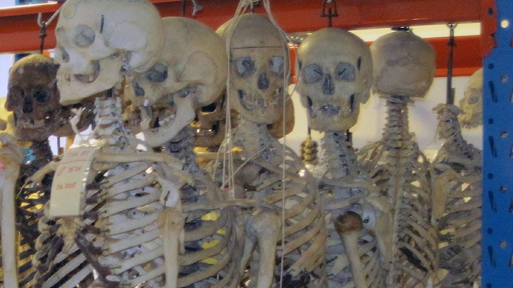Skelett i provisorisk förvaring i Uppsala. Foto: Jörgen Heikki, SR Sámi Radio.