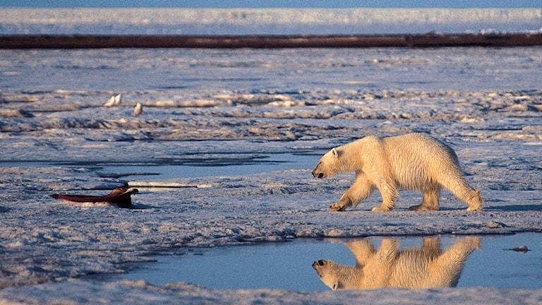 isbjörn.