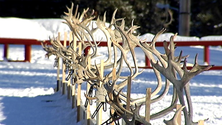 Lassokastningshorn. Foto. Anette Niia / SVT Sápmi