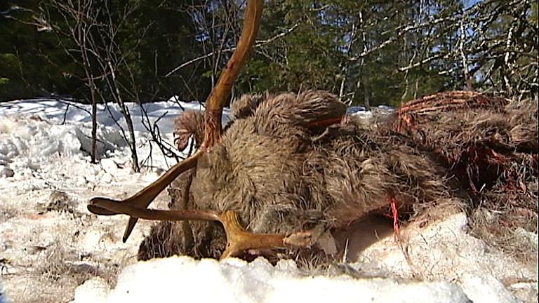 Rovdjursdödad ren. Foto: Eva Danielsson/ SVT