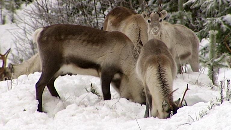 Betande renar. Foto:SVT
