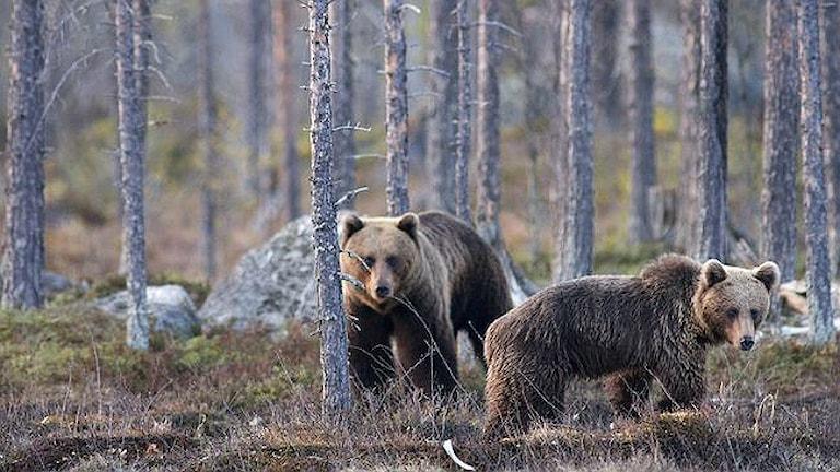 Björnar. Foto: Magnus Ström/ SVT