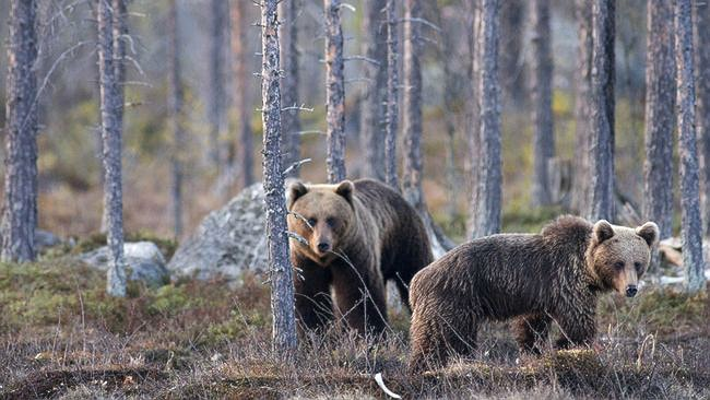 Björnar vid turist-björnåteln i Dorotea. Foto: Magnus Ström/ SVT