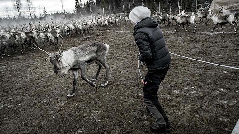 Renskiljning. Foto:  Magnus Hjalmarson Neideman / SvD / TT