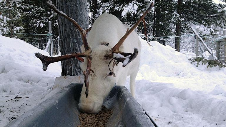 Utfodrad ren. Foto: Anne-Ravna Allas/Sveriges Radio