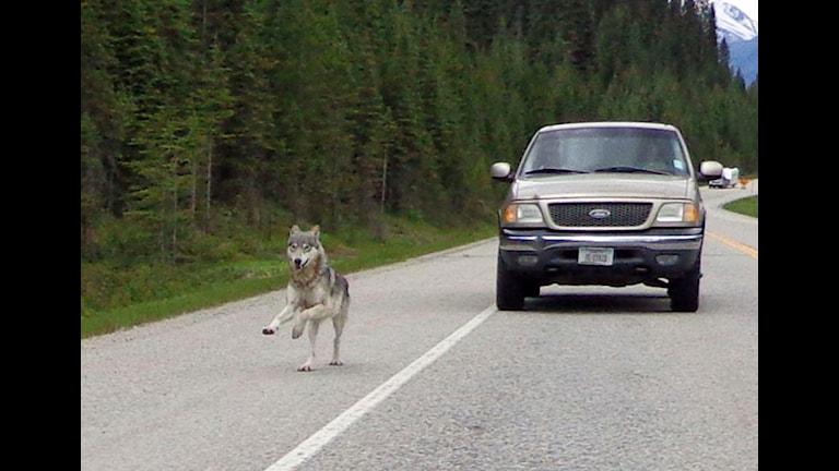 Vargar och människor befinner sig ofta på kollisionskurs. Bilden tagen i västra Kanada. Foto:TT
