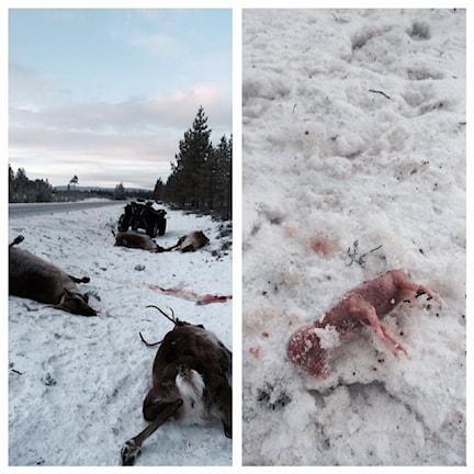 Påkörda renar och kalvfoster Foto: Privat