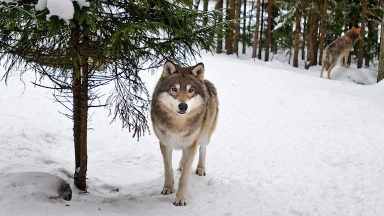 Vargar. Foto: Yvonne Åsell/ TT