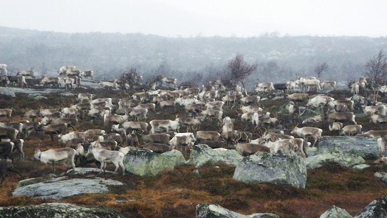 Renar på fjället. Foto: Ann-Louise Rönestål Ek/ Sveriges Radio.
